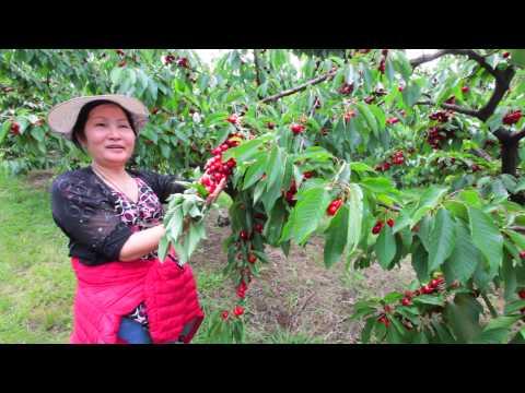 Đi hái Cherry ở Melbourne Úc Châu 02-12-2014 (Phiên bản gốc - The Original)