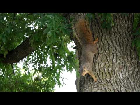 Tame red squirrel