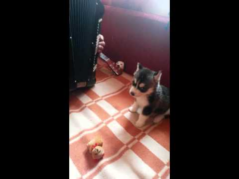 WATCH: Puppy Sings Along With Accordion