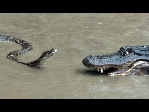vs - http://Ojatro.com http://Ojatroblog.blogspot.com Burmese pythons have an established permanent breeding population in South Florida and belong to the 