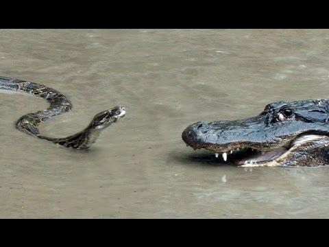 蟒蛇 VS 鱷魚 大PK!結果竟然…