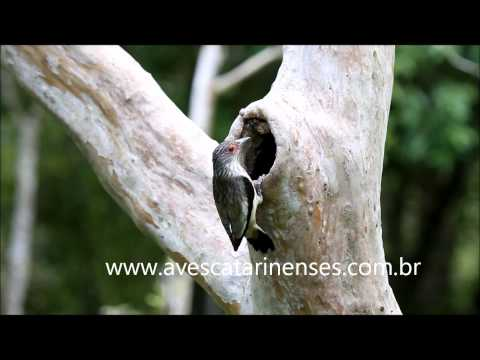Anambé-branco-de-rabo-preto - Cristiano Voitina