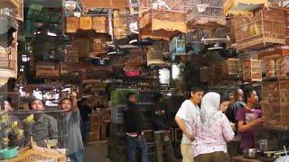 Download Video PASAR BURUNG TERBESAR INDONESIA !! Wow Burung Apa saja ada Dari receh hingga ratusan juta MP3 3GP MP4