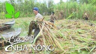 Cuộc sống nhà nông |Người trồng mía trải lòng sau cơn lũ... - CSNN 322