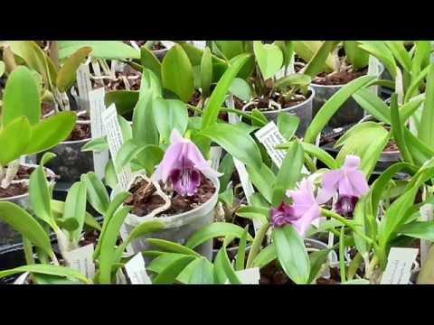 Orchideen Arten: Laelia dayana