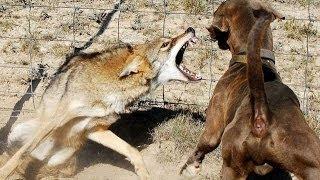 Kurtlar ve Köpekler Arasındaki 10 İlginç Fark