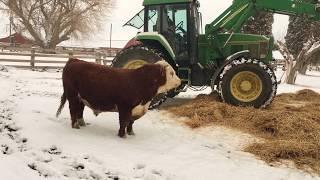 「わっほおおおい!」牛が新しいベッドをプレゼントされて大はしゃぎ(動画)