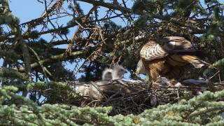 Red Kite feeding a young rabbit to its chicks in 4k with Panasonic 100-400 and GH4