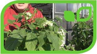 Die Lubera Lowberries: Die weltweit ersten Balkonhimbeeren und Balkonbrombeeren