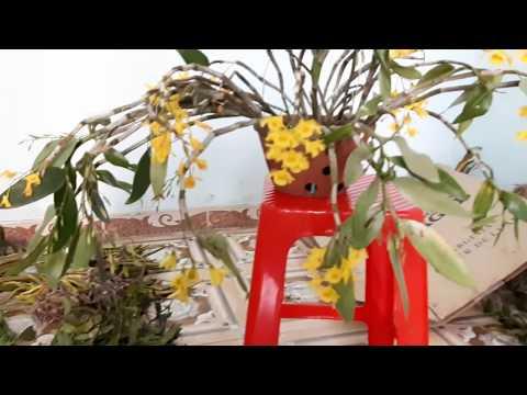 06/04/18 Bán lan rừng giá rẻ 01654028663 Vân Nam Kon Tum - Thời lượng: 11:09.