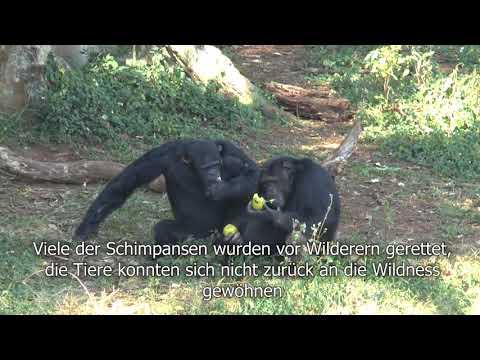 Uganda: Ngamba Island - die Schimpanseninsel