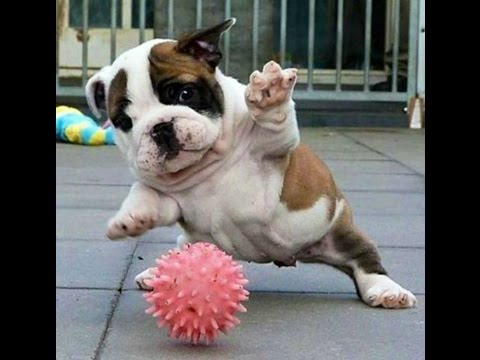 the awesome bulldog! funny puppy compilation!