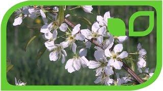 Japanische Pflaumen Prunus salicina in der Blüte