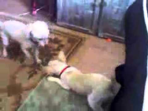 Piper bullying Sweetpea my Poodle. Piper is a Deer Chihuahua.:)WILDFLOWER(: