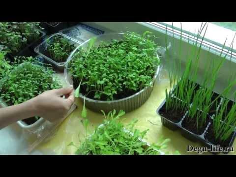 DOWNLOAD LAGU Выращиваем зелень для дегу дома FREE MP3 DOWNLOADS MP3TUBIDY