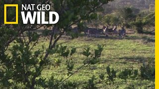 Lions Use Teamwork to Hunt | Nat Geo Wild by Nat Geo WILD