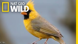 Watch: Rare Yellow Cardinal Spotted in Alabama | Nat Geo Wild by Nat Geo WILD