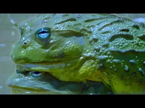 Explosive Sex of the African Bullfrog | Battle of the Sexes in the Animal World | BBC Earth | BBC