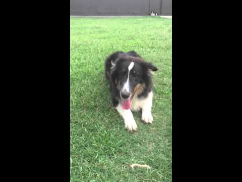 AKC tri colored female sheltie
