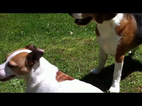 beagle and jack russell