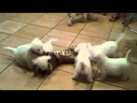 一隻成年貓咪 VS 五隻幼犬,誰會贏?