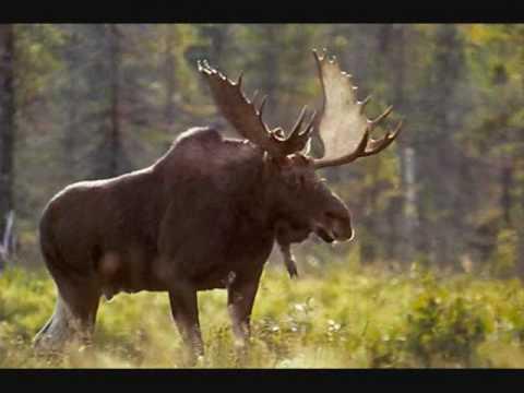 La chasse à l'orignal selon Francois Pérusse