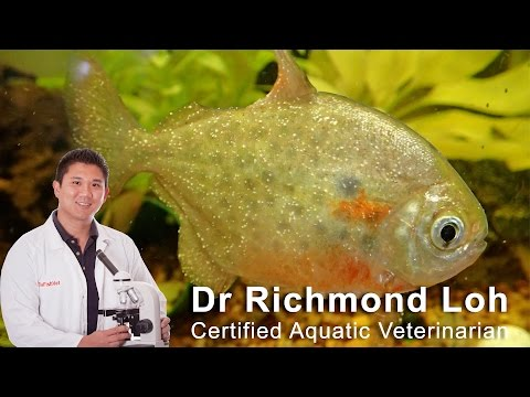 How to identify and cure (ICH) white spot disease in aquarium fish