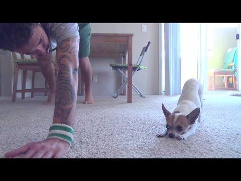 Chihuahua matkii isäntänsä joogaliikkeitä