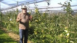 #248 Die Züchtung neuer gelber Gartenapfelsorten
