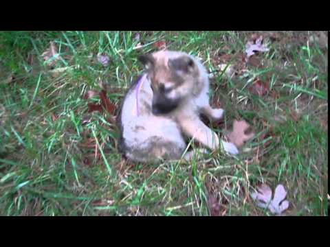 Rosies Miss Tinkerbell Silver Sable Female Puppy