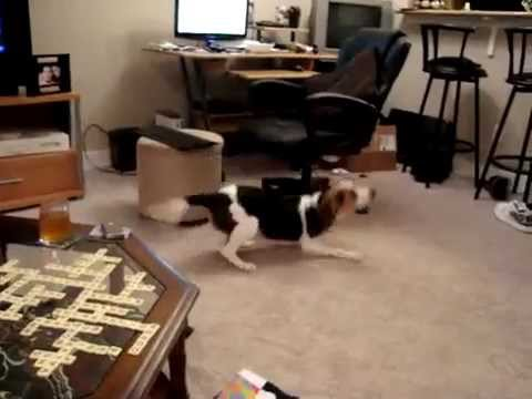 BEAGLE GOING NUTS RUNNING AND BARKING!!!