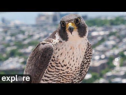 Vögel - Wanderfalken / Peregrine Falcon  - Skyscra ...