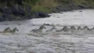 Nonton Crocodile Attacks Zebra At Mara River Kenya  Film Subtitle Indonesia Streaming Movie Download