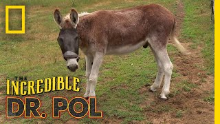 Easy Does It, Donkey!   The Incredible Dr. Pol by Nat Geo WILD