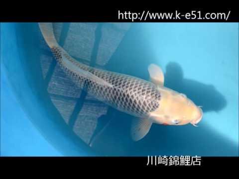 錦鯉販売 川崎錦鯉店の錦鯉 K0255 浅黄