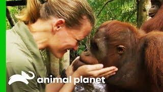 Taking The Next Step Towards Releasing Orangutans Into The Wild | Orangutan Island by Animal Planet