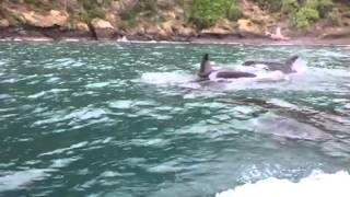 Marlborough Sounds New Zealand  city photo : Killer Whales (Orca) In the Marlborough Sounds New Zealand