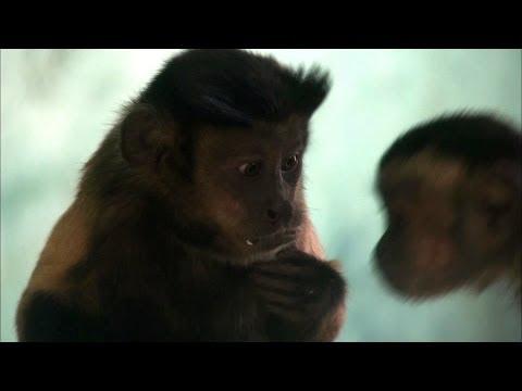 Spravedlivost mezi opicemi