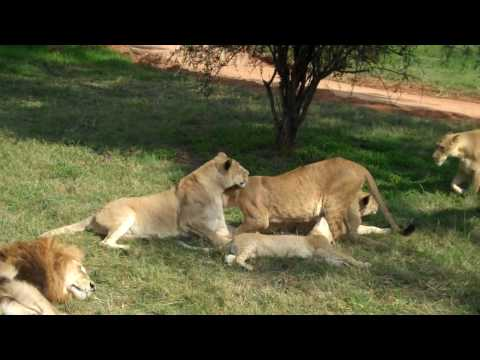 Lions – Lion Park, Johannesburg, South Africa