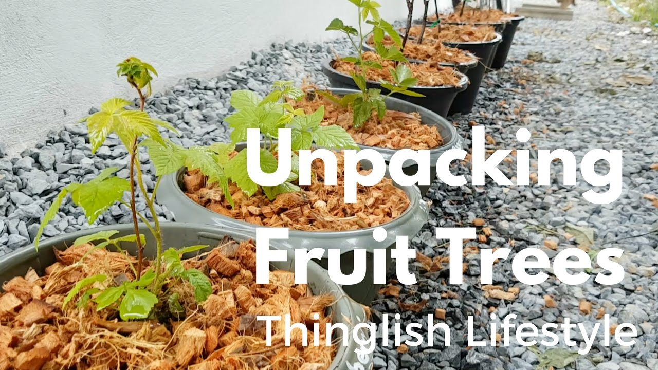Unpacking Fruit Trees in Thailand – Thinglish Lifestyle