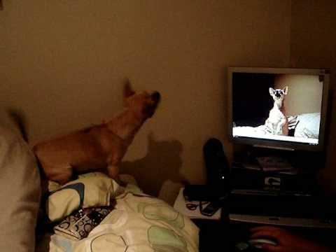 Chihuahua barking at himself….