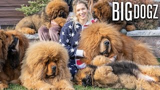 Tibetan Mastiffs - The 200lbs 'Bear Dogs' | BIG DOGZ by Barcroft Animals