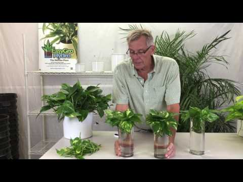 The Best Ways to Properly Propagate Pothos Plants