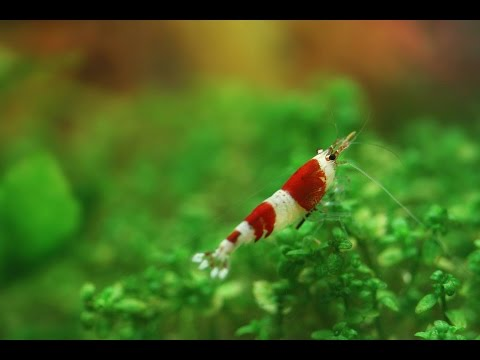 Nano Aquarium 10l - Galaxy - Red Cherry - Christal Red - Blue Rili - Tiger (видео)