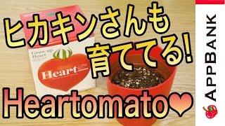ヒカキンさんも育ててる!ハート型のトマトが栽培できるキット『Heartomato』