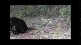 Forestville (QC) Canada  City new picture : Canadian Black Bear 2012 Forestville