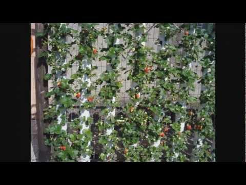 Morangos em garrafas Pets Semihidropônicos do plantio até a colheita