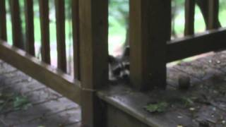 Download Lagu Baby raccoon oops, mother raccoon to the rescue Mp3