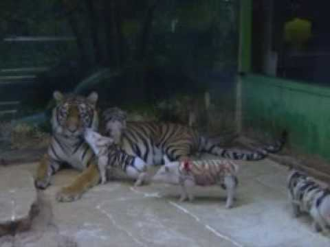 MOTHER TIGER ADOPTS PIGLETS! Video