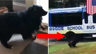 VIDEO MENUNJUKKAN ANJING SANGAT BERSEMANGAT UNTUK PERGI KE SEKOLAH Anjing ini mendapatkan nilai A +! Anjing bersemangat atas banyak hal, camilan, mainan, anjing lainnya... tetapi tidak setiap hari Anda melihat seekor anjing yang bersemangat untuk pergi ke sekolah. 'Doggie School Bus' atau Bus Sekolah Anjing adalah layanan penitipan untuk anjing yang terletak di West Linn, Oregon. Salah satu daya tariknya adalah bus akan datang langsung ke rumah Anda untuk menjemput anjing Anda ke 'sekolah' yang menyenangkan.  Doggie School Bus didirikan oleh penjaga anjing berpengalaman Arat Montoya, yang secara pribadi menjemput, mengantarkan dan memberikan pelayanan.  Pertama, anjing akan diperkenalkan secara hati-hati kepada satu sama lain, lalu kelompok diperbolehkan untuk berkeliling bebas selama 2 jam sebelum beristirahat di rumah Montoya sendiri... Lau mereka melakukan lebih banyak lagi hal yang menyenangkan! Yang Paling penting adalah, Montoya mengklaim bahwa anjing belajar untuk berinteraksi dan bersosialisasi dengan satu sama lain sebagai sebuah kelompok, yang membuat mereka lebih bahagia. Halaman Facebook jasa Layanan ini telah mendapatkan lebih dari 12.000 likes dengan para pecinta hewan peliharaan mengoceh akan betapa bagusnua 'Sekolah' ini. Sepertinya para anjing juga menyukainya.  Seperti dapat jelas terlihat dalam video viral ini, yang menampilkan Rudy, salah satu siswa teladan yang antusias. Setelah melihatnya, siapa yang tidak ingin mengirim anak-anak berbulu mereka ke tempat ini?-------------------------------------------------------------TomoNews adalah sumber berita nyata terbaik. Kami meliputi cerita paling lucu, paling gila dan paling banyak dibicarakan di internet. Cara penyampaian kami apa adanya dan tidak mengenal batas tertentu. Jika Anda tertawa, maka kami juga sedang tertawa. Jika Anda marah, kami pun sedang marah. Kami menyampaikan berita apa adanya. Dan karena kami juga dapat menganimasikan cerita, TomoNews memberikan Anda berita yang belum pernah Anda